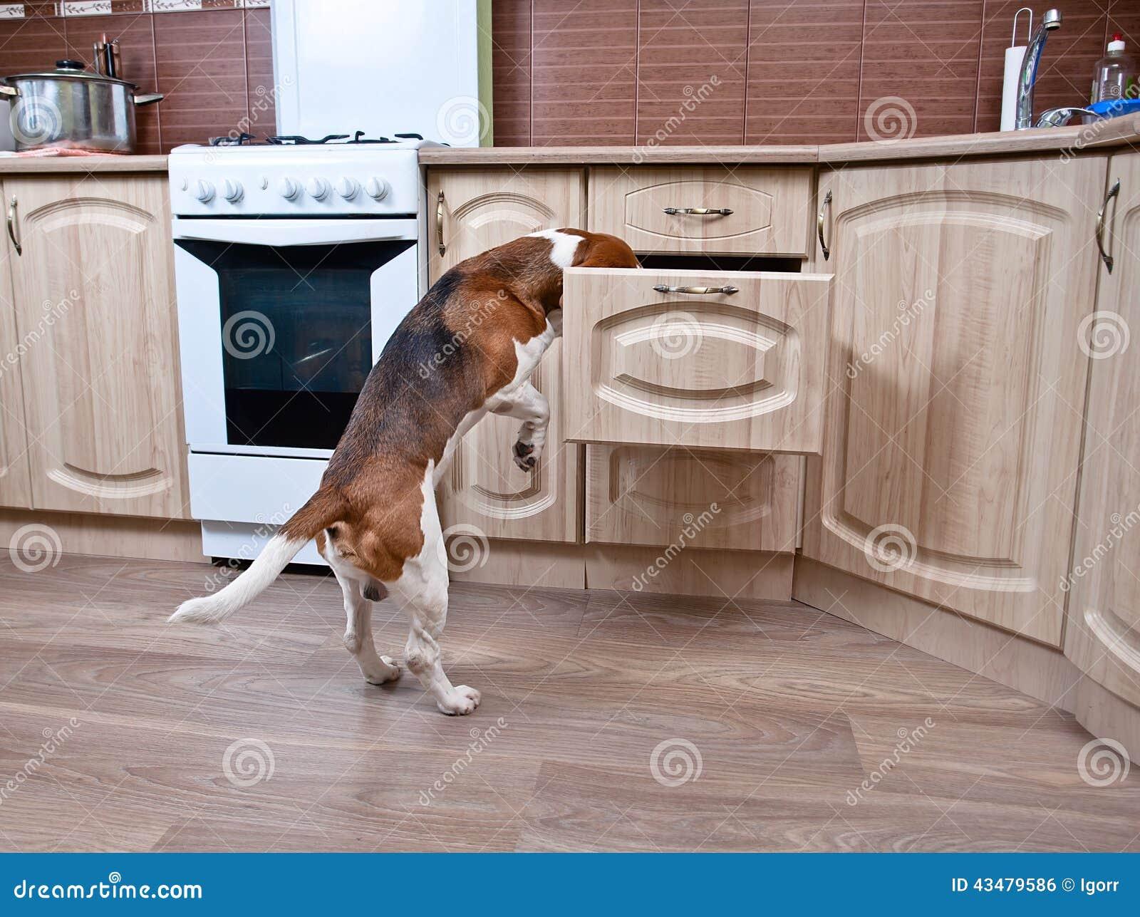 Hond in keuken stock foto   afbeelding: 43479586