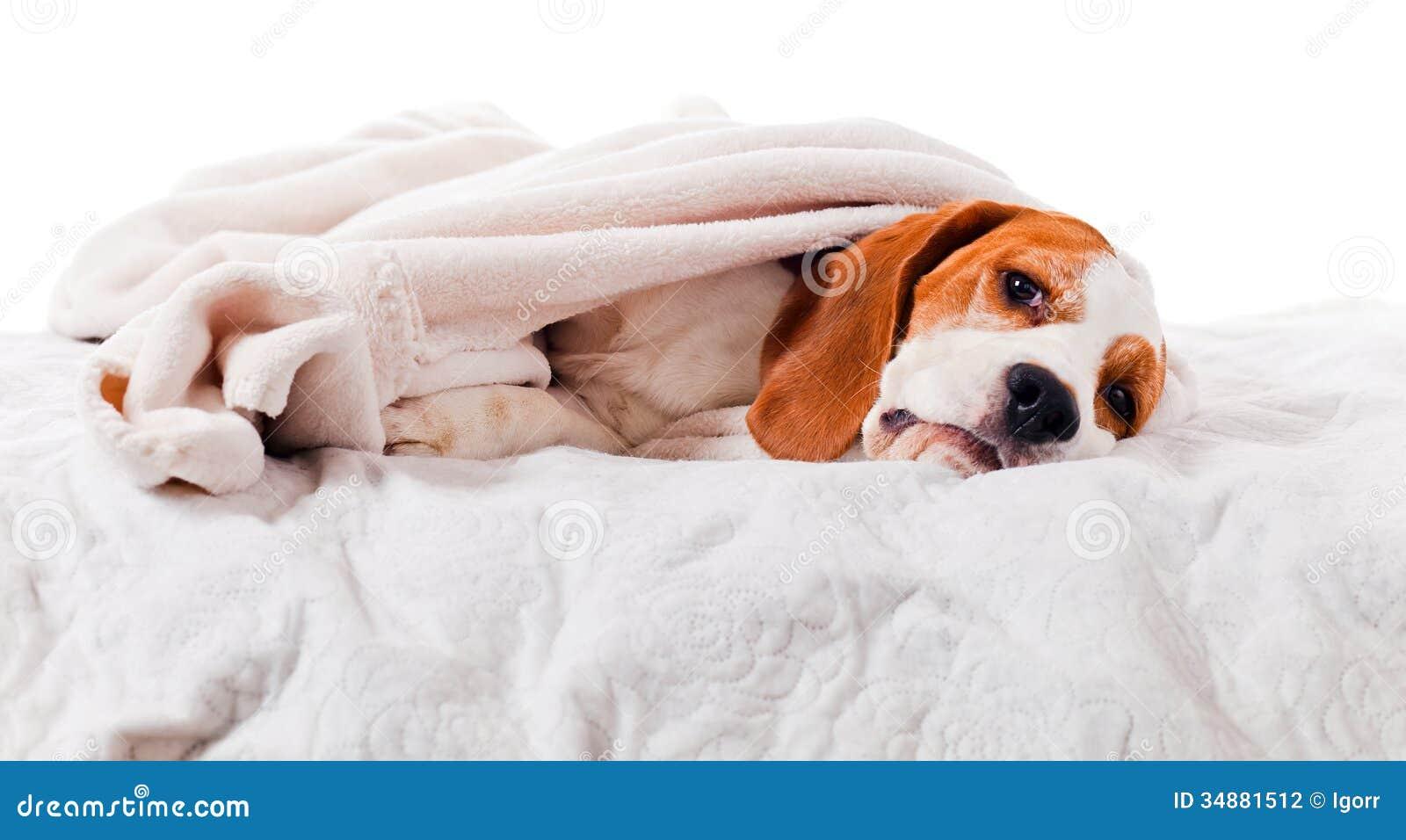 Hond onder een deken op wit stock fotografie afbeelding 34881512 - Hoofd fluwelen bed ...