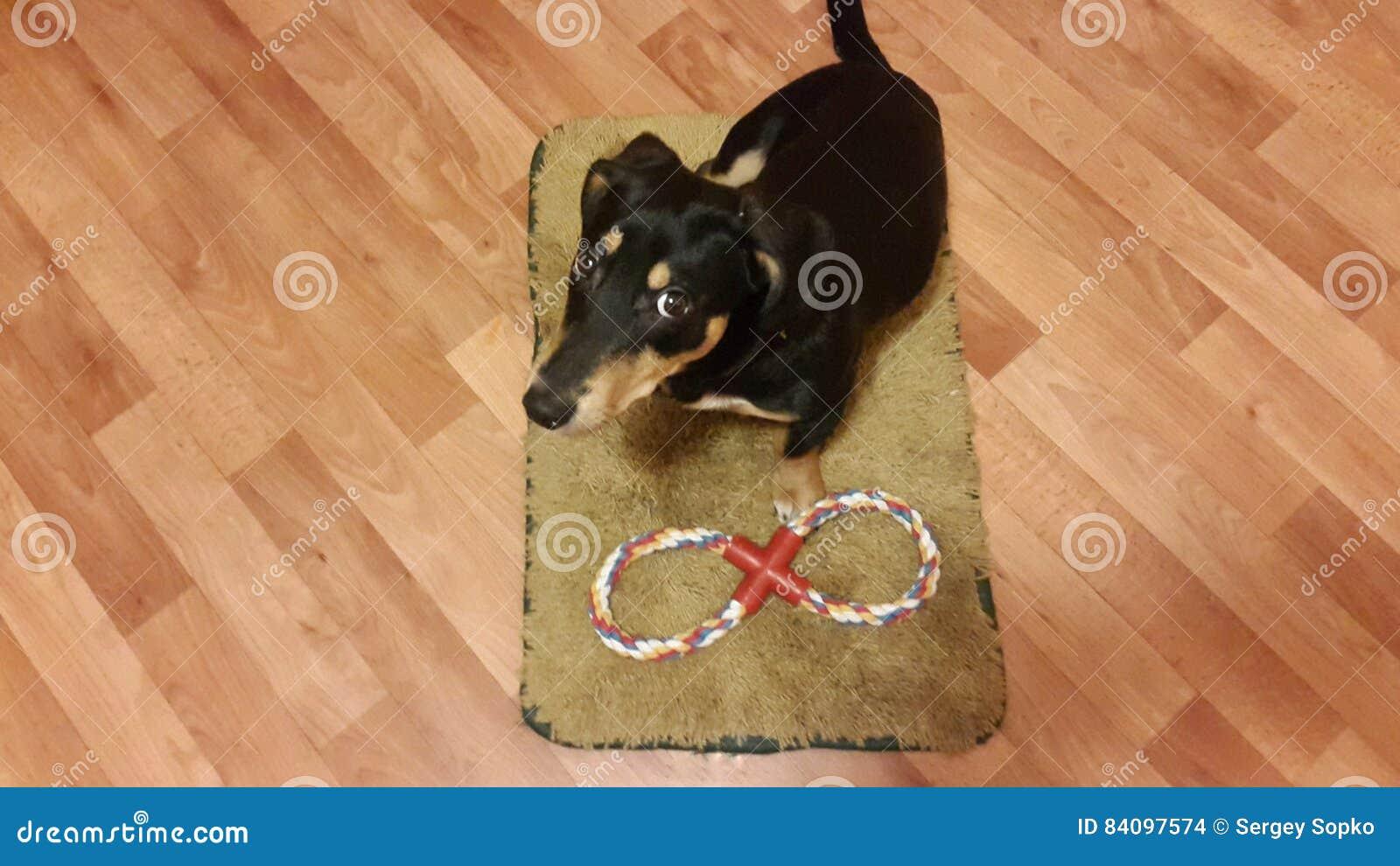 Hond op een tapijt