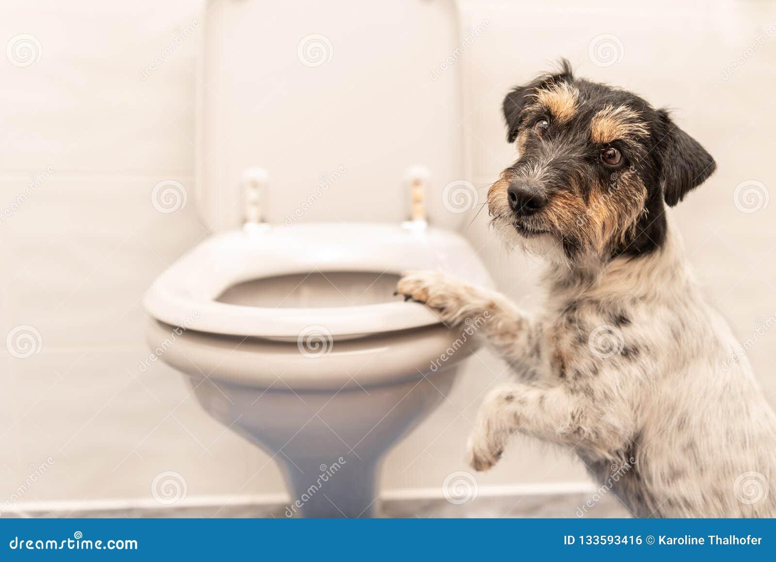 Hond op het toilet - Jack Russell Terrier