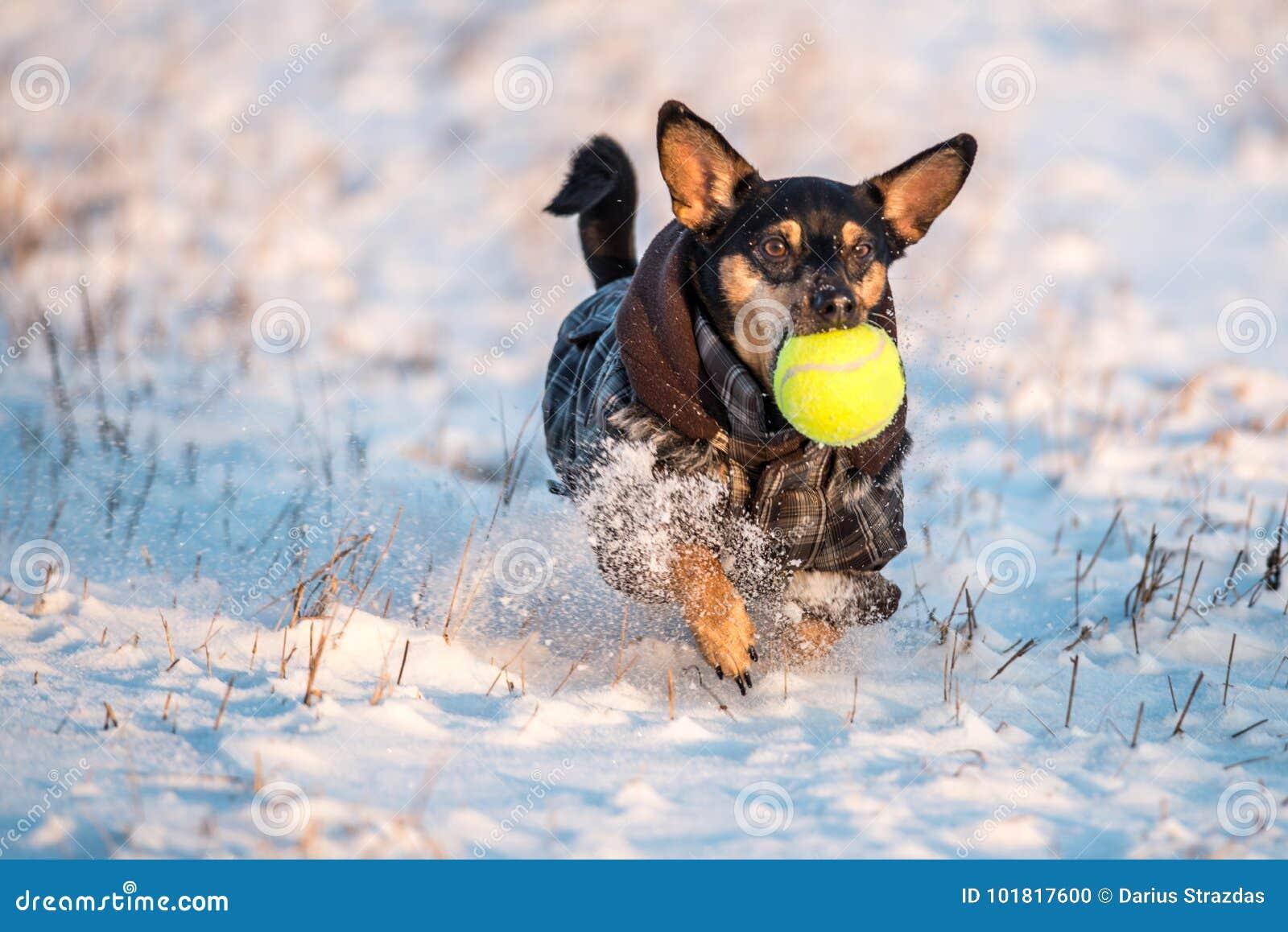 Hond sneeuw wordt doorgenomen die