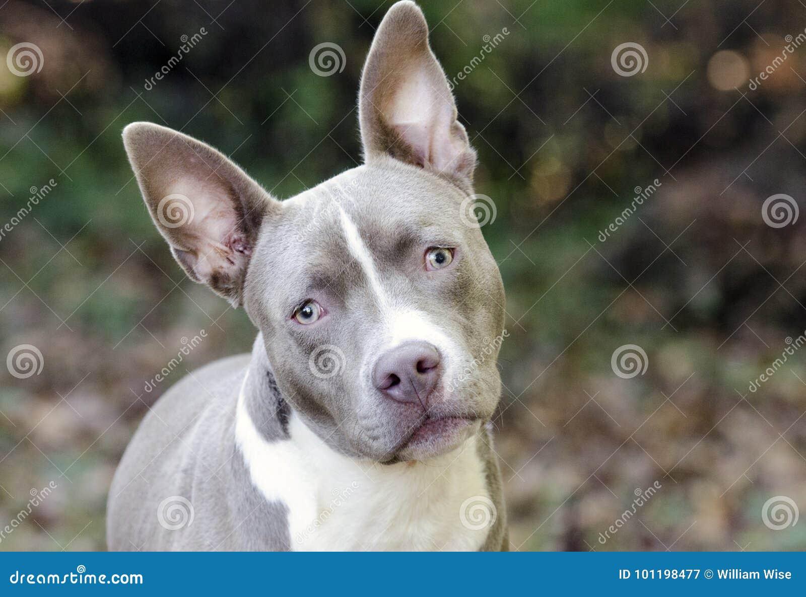 Hond van het het rassenpuppy van Bluenosepitbull de Terrier gemengde