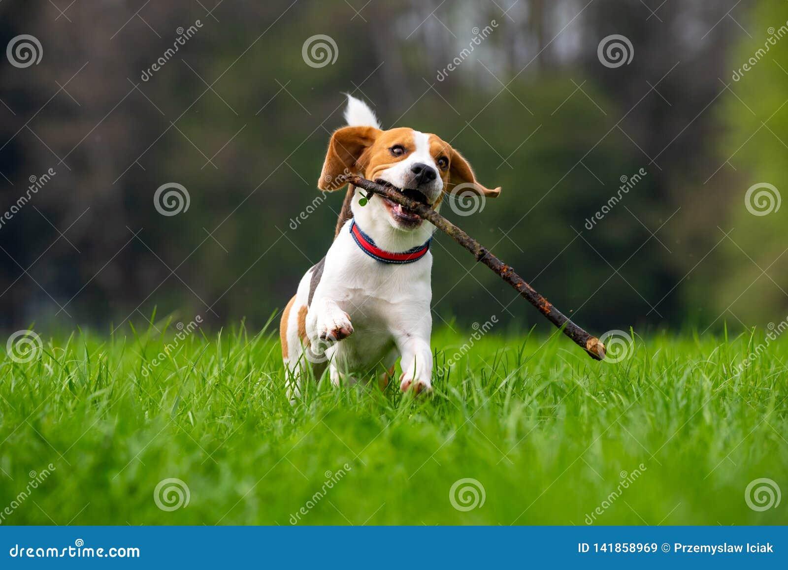 Hondbrak die en met stok groen grasgebied doornemen springen in de lente