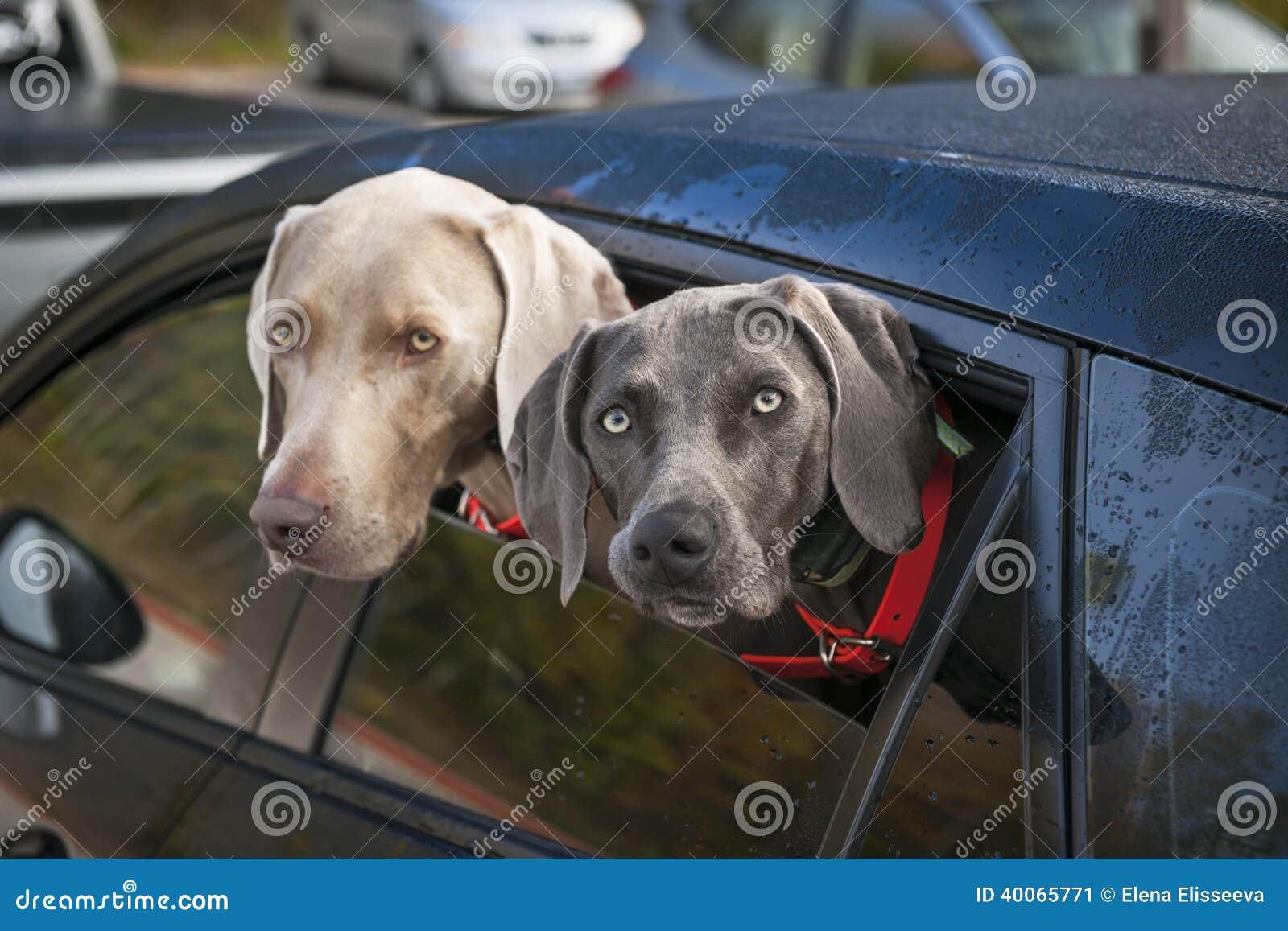 Honden in auto