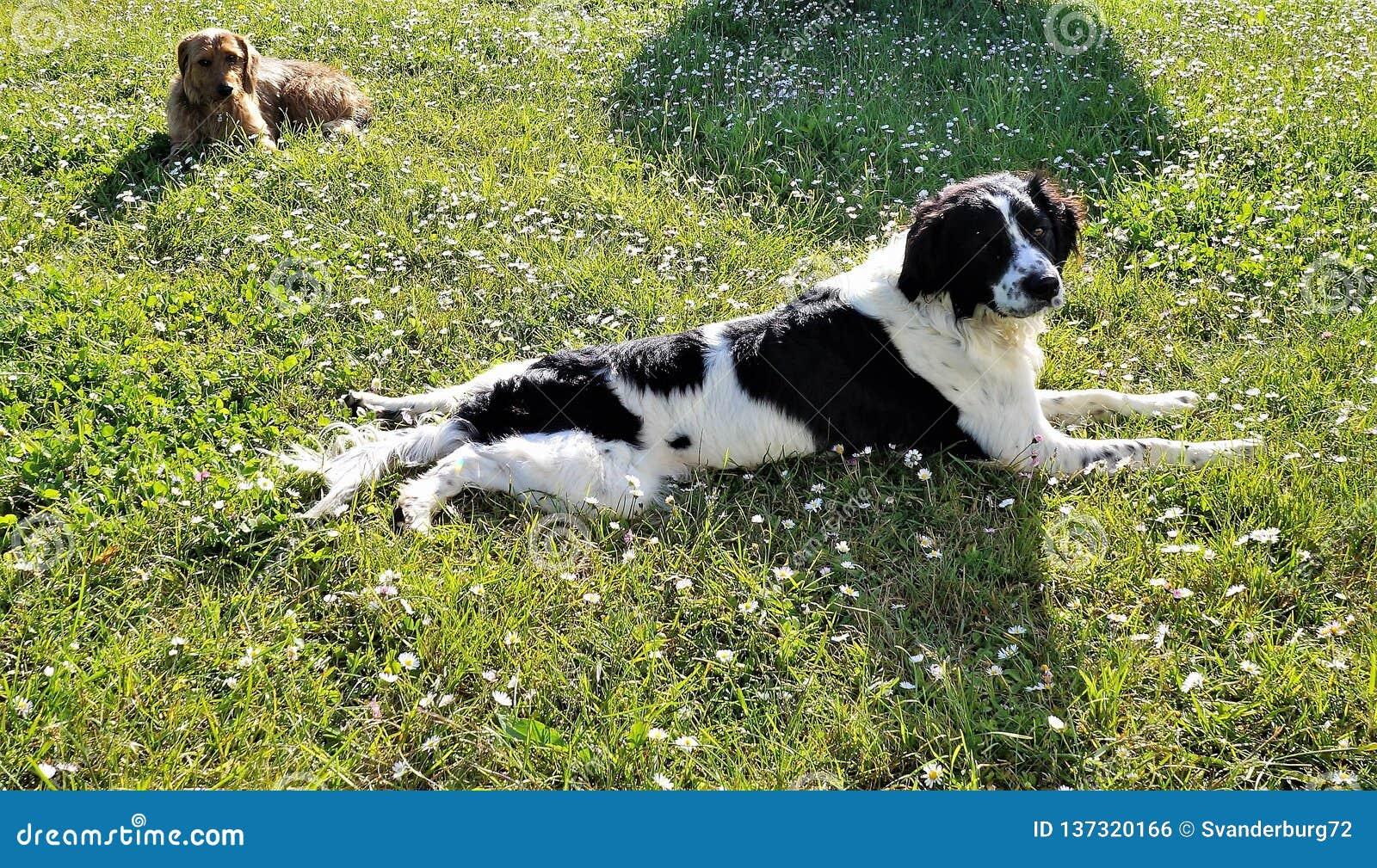 2 honden die op een gebied van madeliefjes leggen
