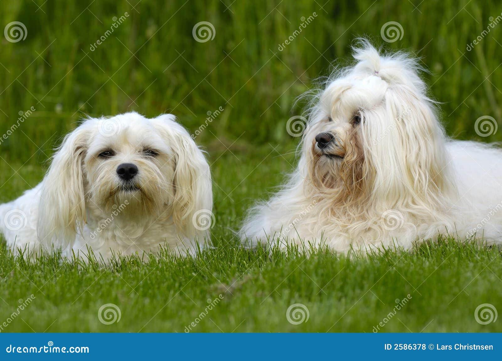 Honden die op gras rusten