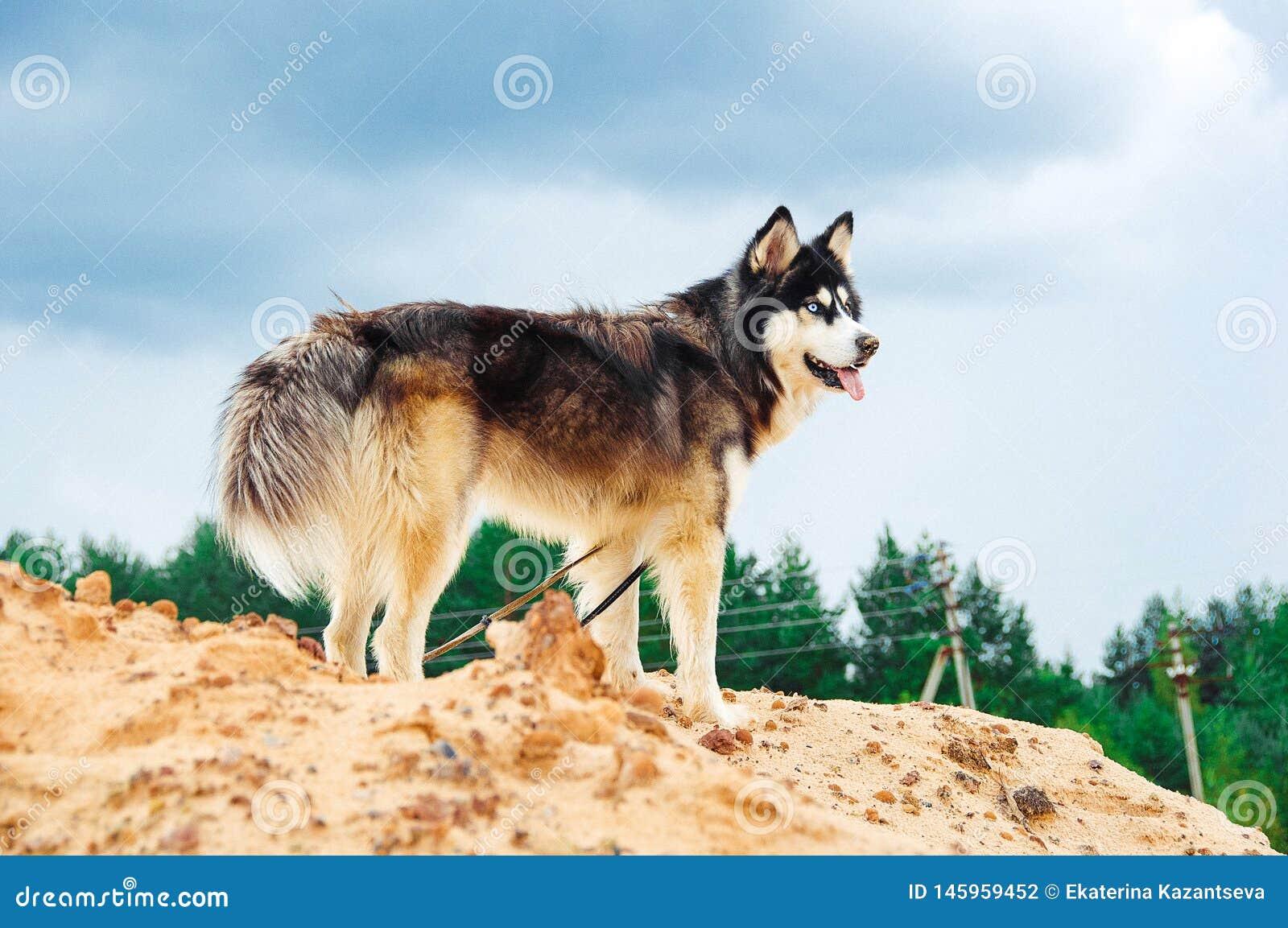 Hondras schor op een zandige berg tegen de blauwe hemel