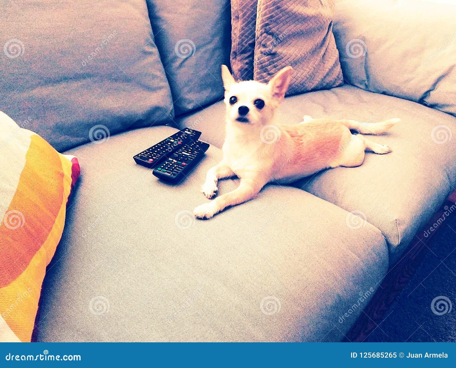 Hondtv, hond die op bank met TV-controles liggen