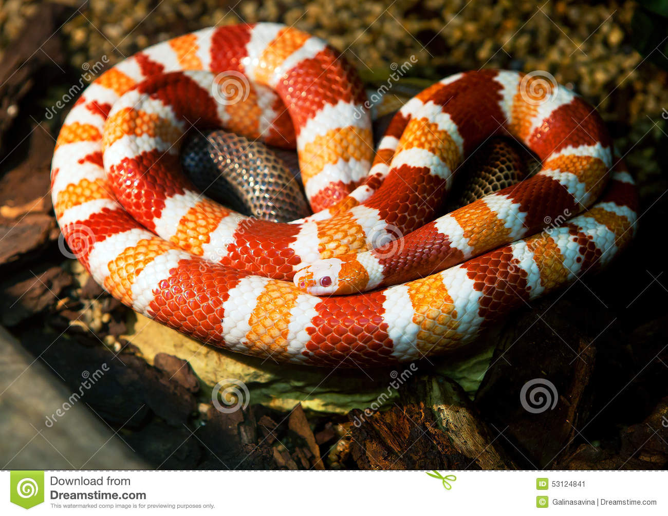 Honduran Milk Snake Stock Photo Image 53124841