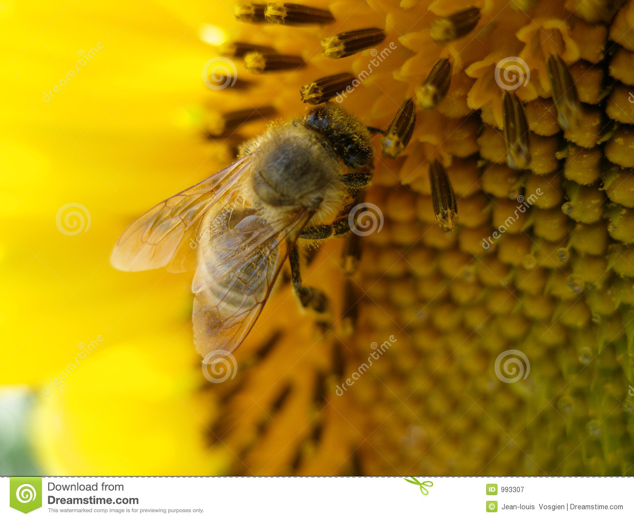 Honey bee collecting honey on a sunflower