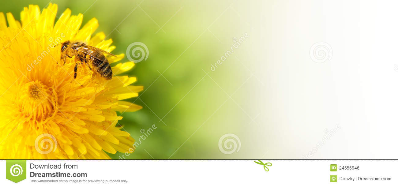 Honey bee collecting nectar from dandelion flower.
