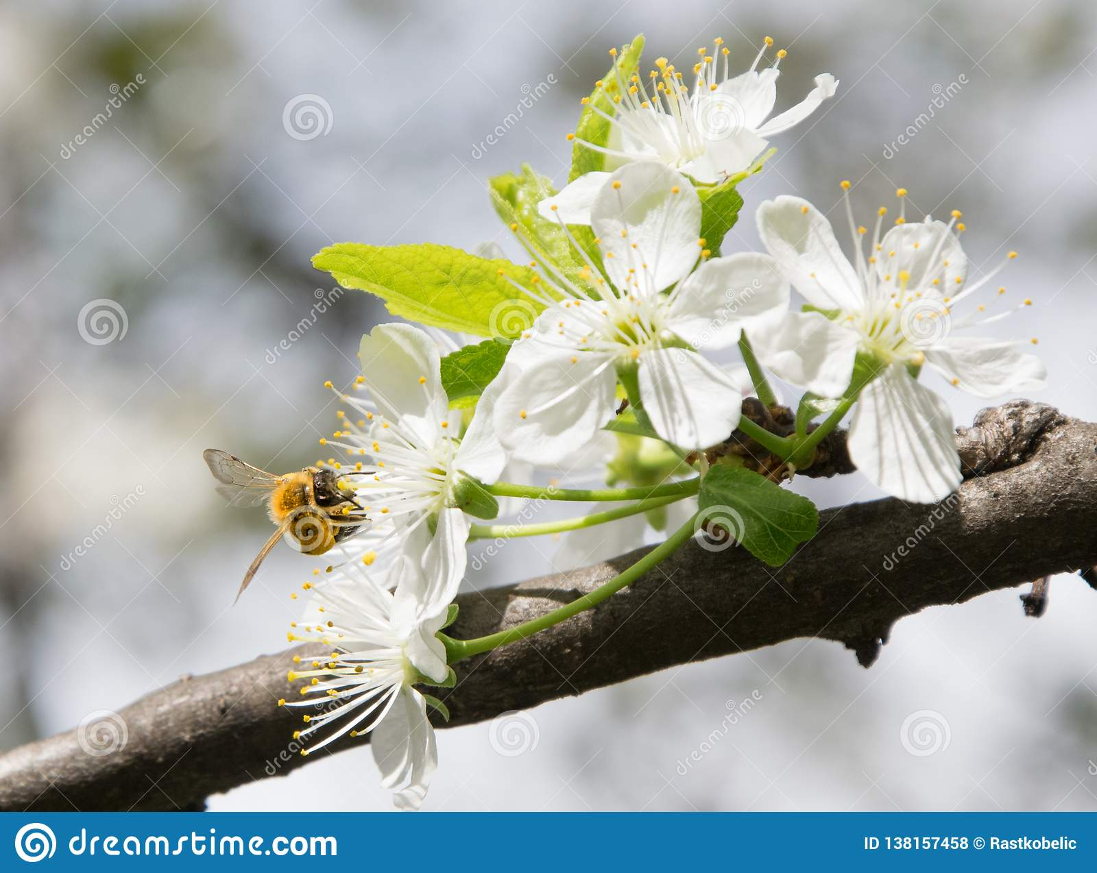 Honey Bee collecting pollen on white cherry blossom tree