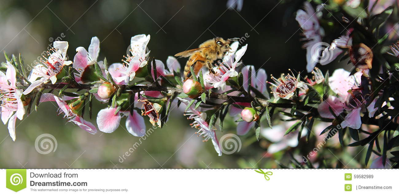 Honey Bee en la flor de Manuka