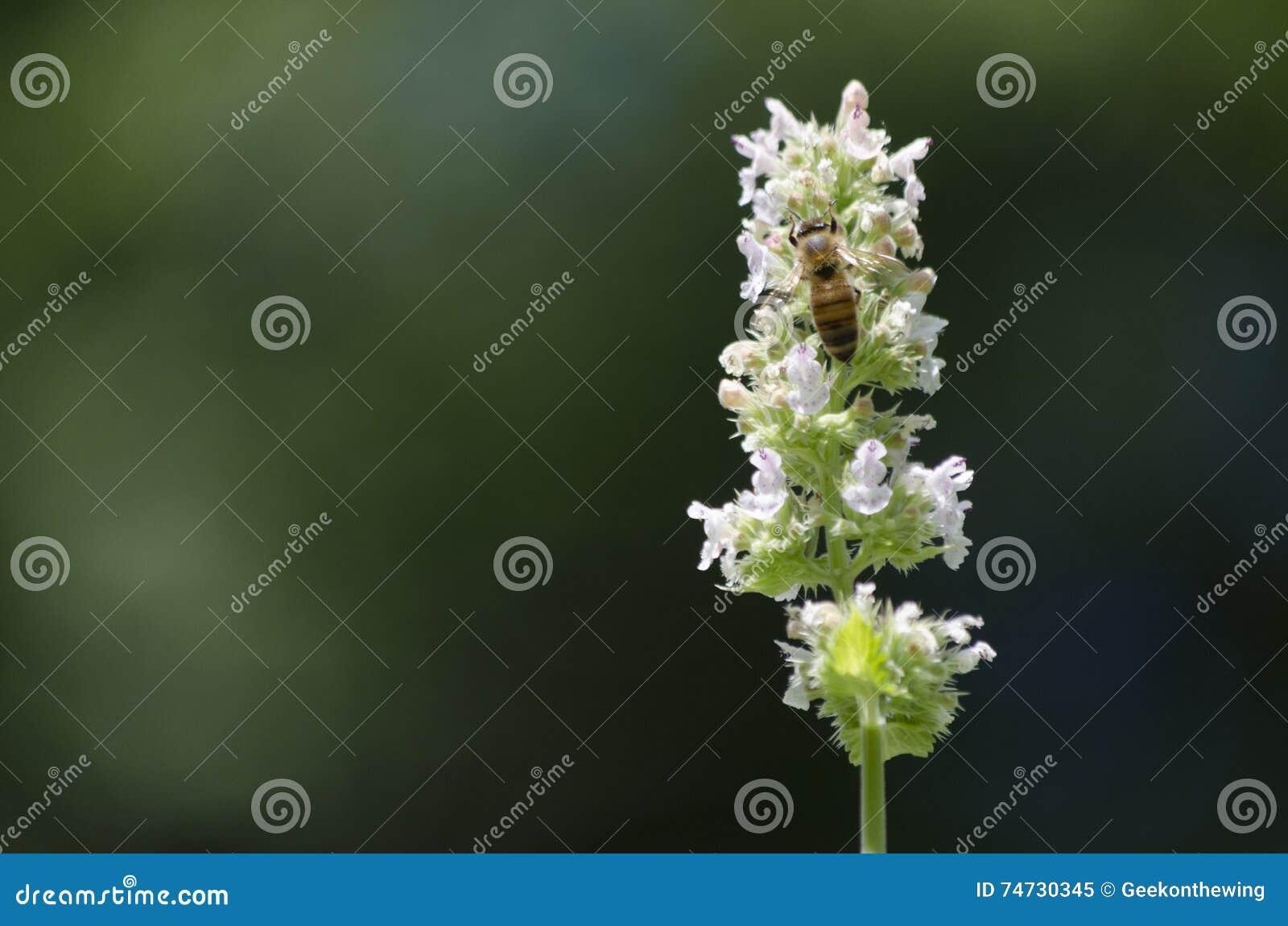 Honey Bee Feeding en el néctar de una flor del Catnip