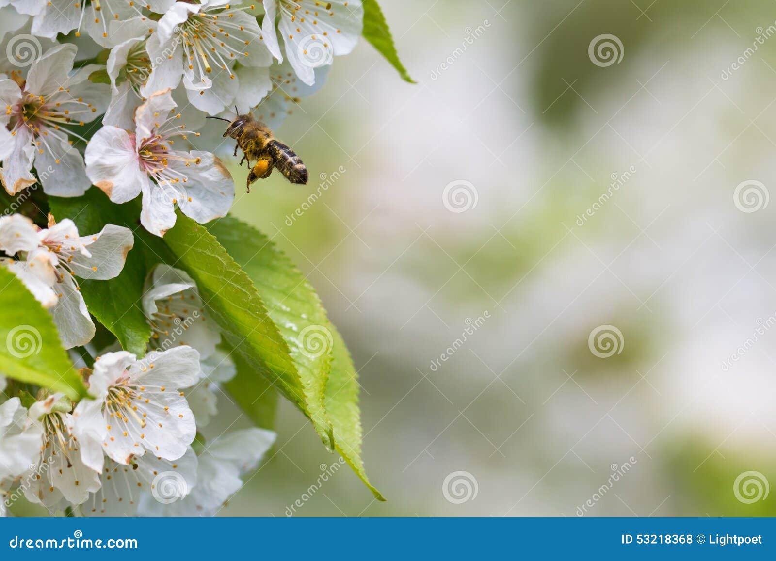 Honey bee in flight