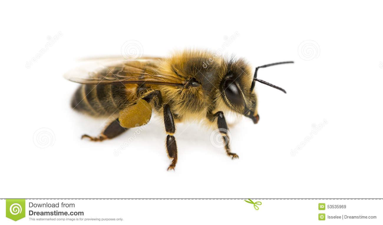 Honey bee in front of a white background