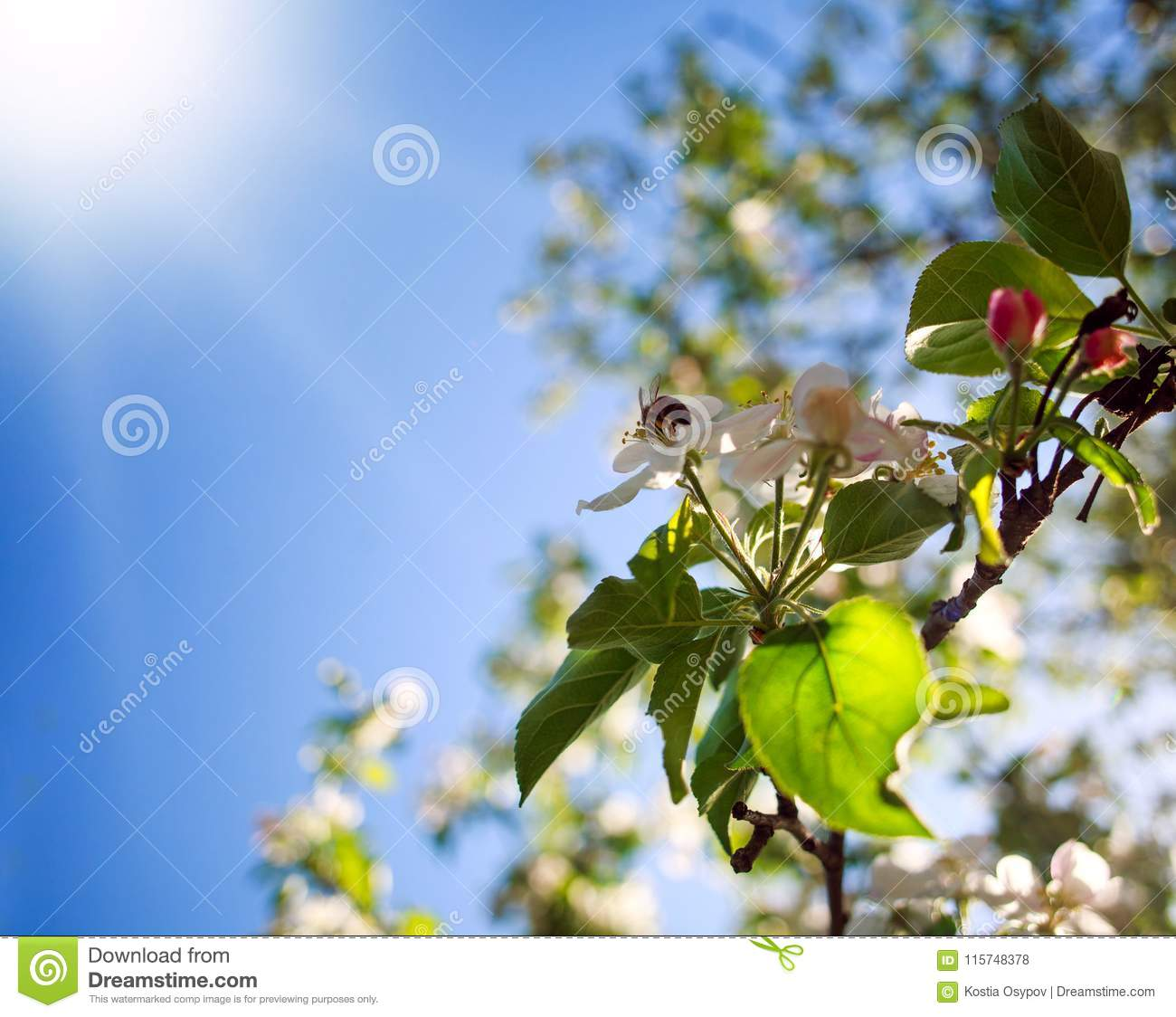 Honey bee in garden collect nectar from flowers of blooming tree