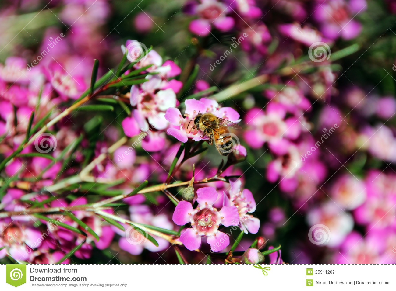 Honey Bee Geraldton Wax Flower Royalty Free Stock graphy Image 259