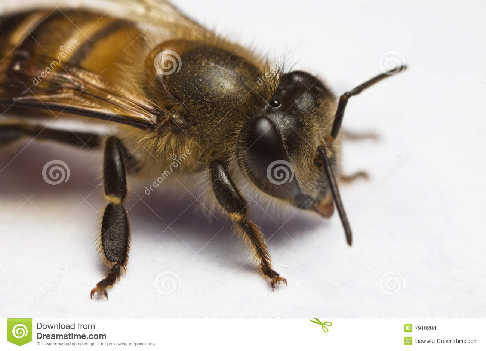 Honey Bee Macro Close Up Stock Images Image 7910284