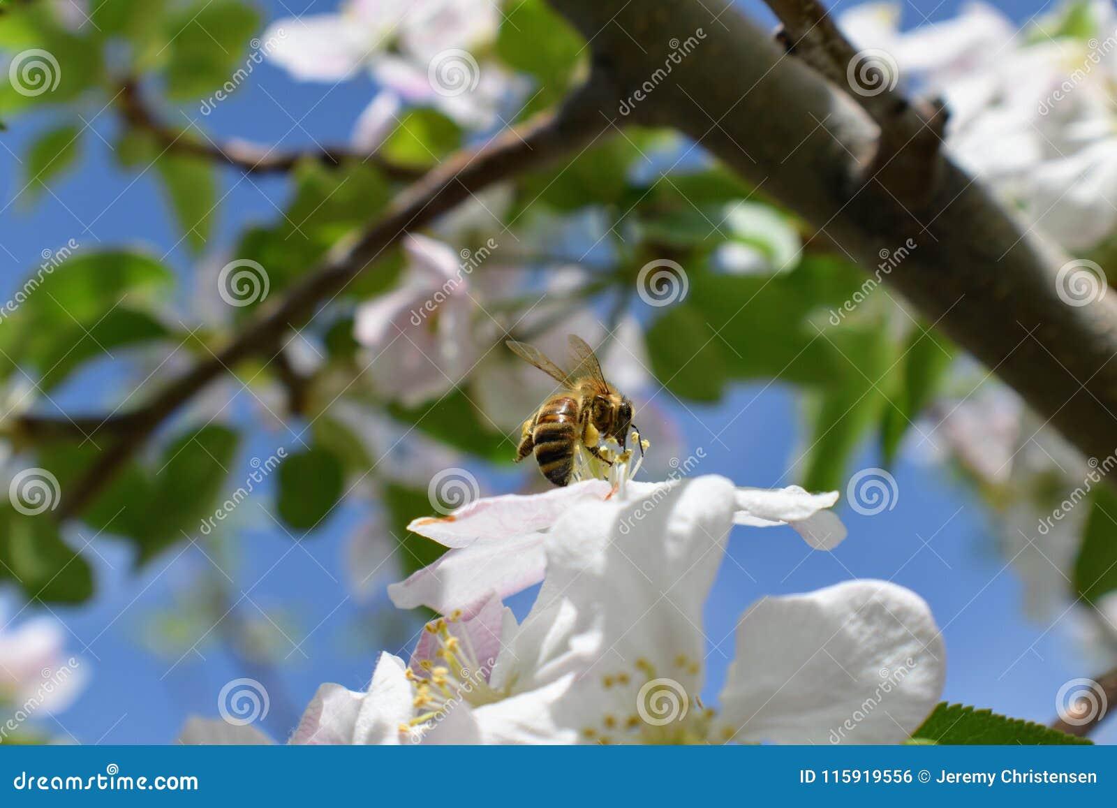 Honey Bee Macro i vår, den vita äppleblomningen blommar tätt upp, samlar biet pollen och nektar Knoppar för Apple träd, vårbackg
