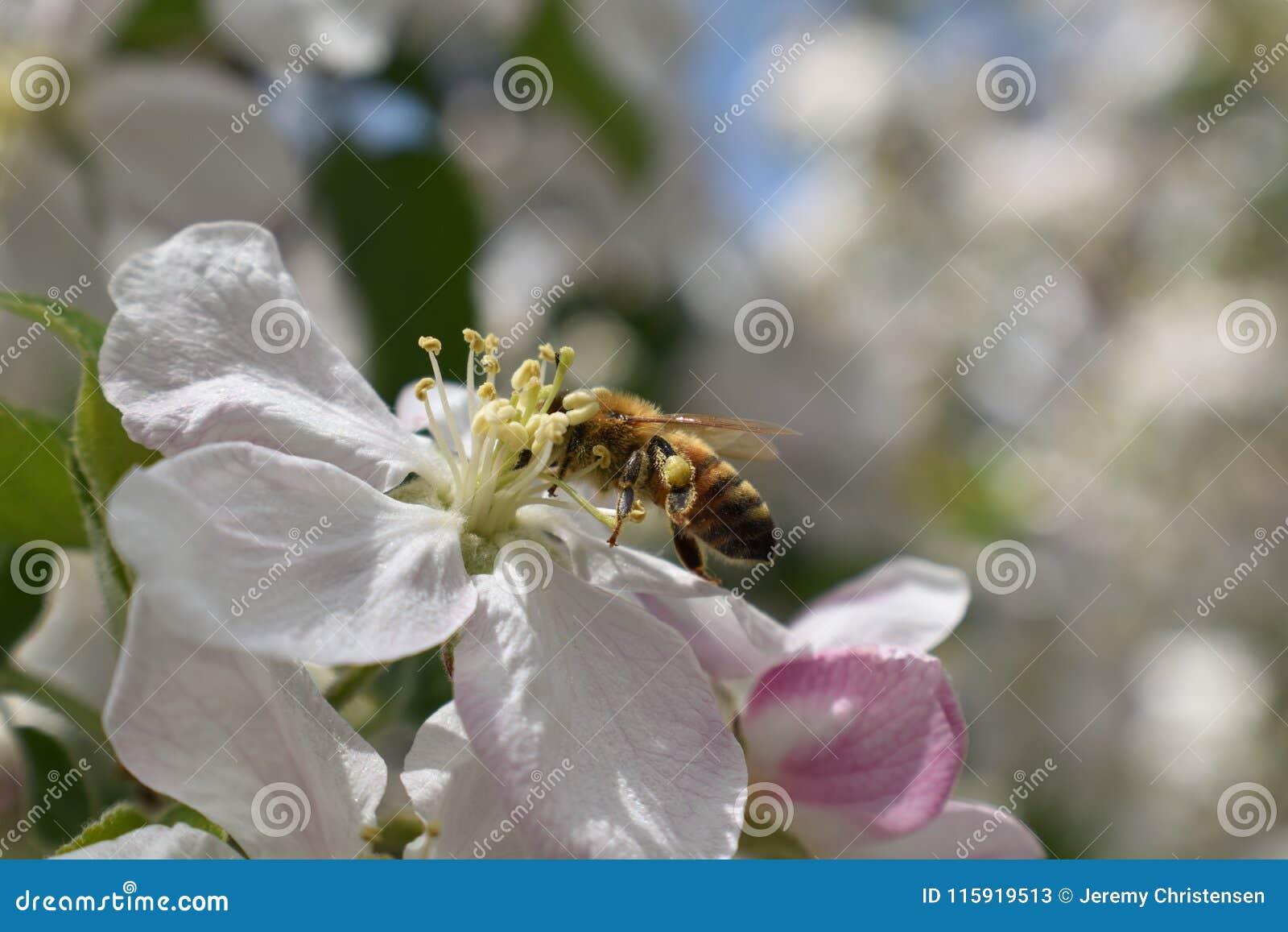 Honey Bee Macro nella primavera, fiori bianchi del fiore della mela si chiude su, l ape raccoglie il polline ed il nettare Germog