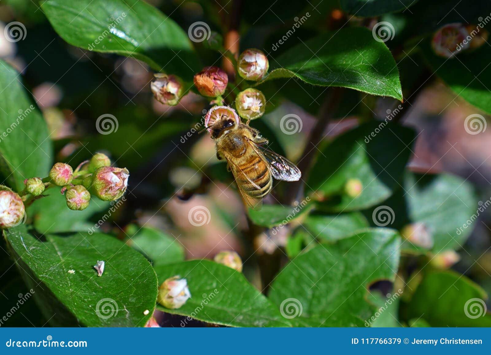 Honey Bee, Makronahaufnahmeansicht, Nektar und Blütenstaub auf einer Cotoneasterblumenblüte sammelnd, die eine Klasse von Blütenp