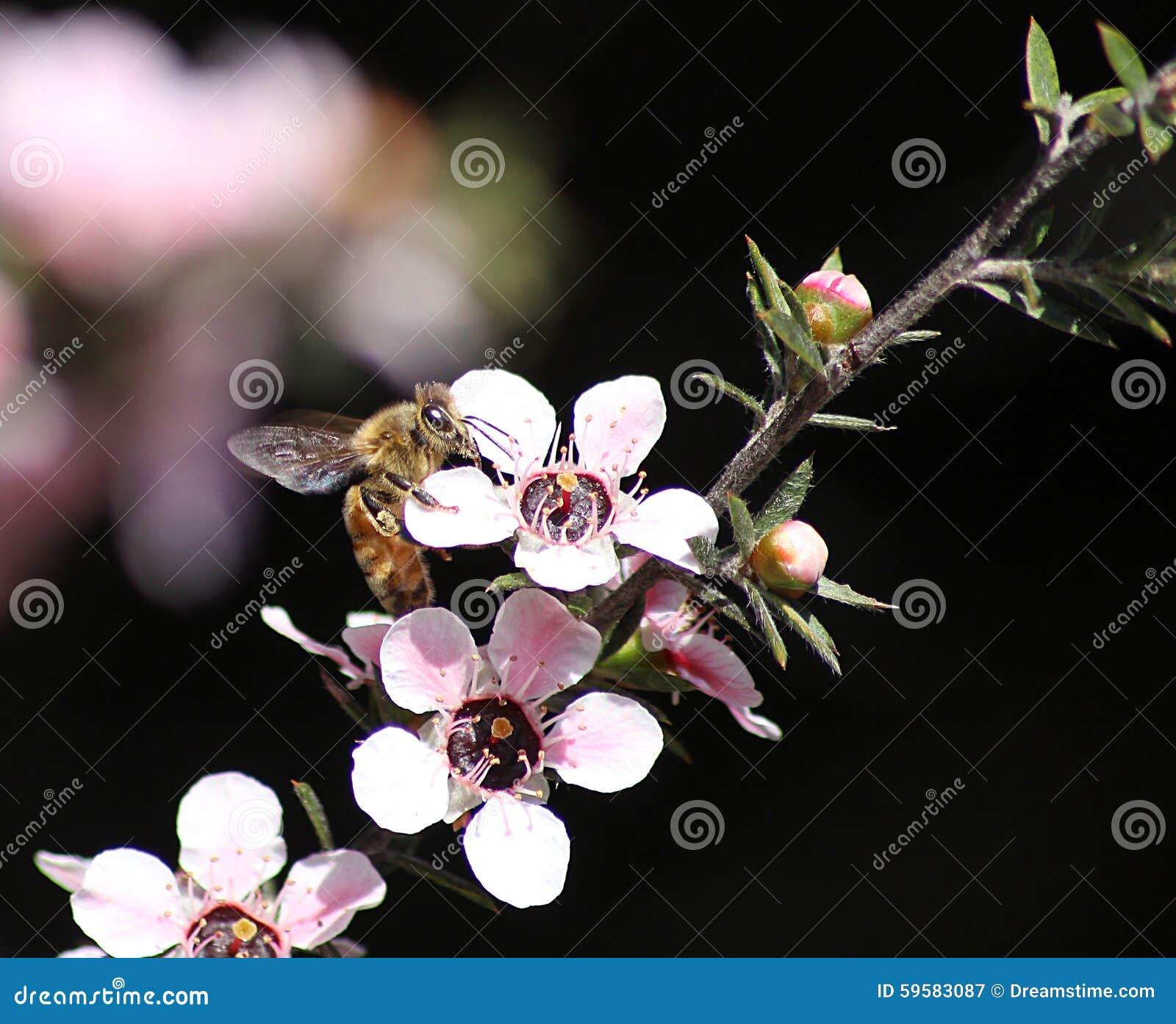 Honey Bee on Manuka Flower