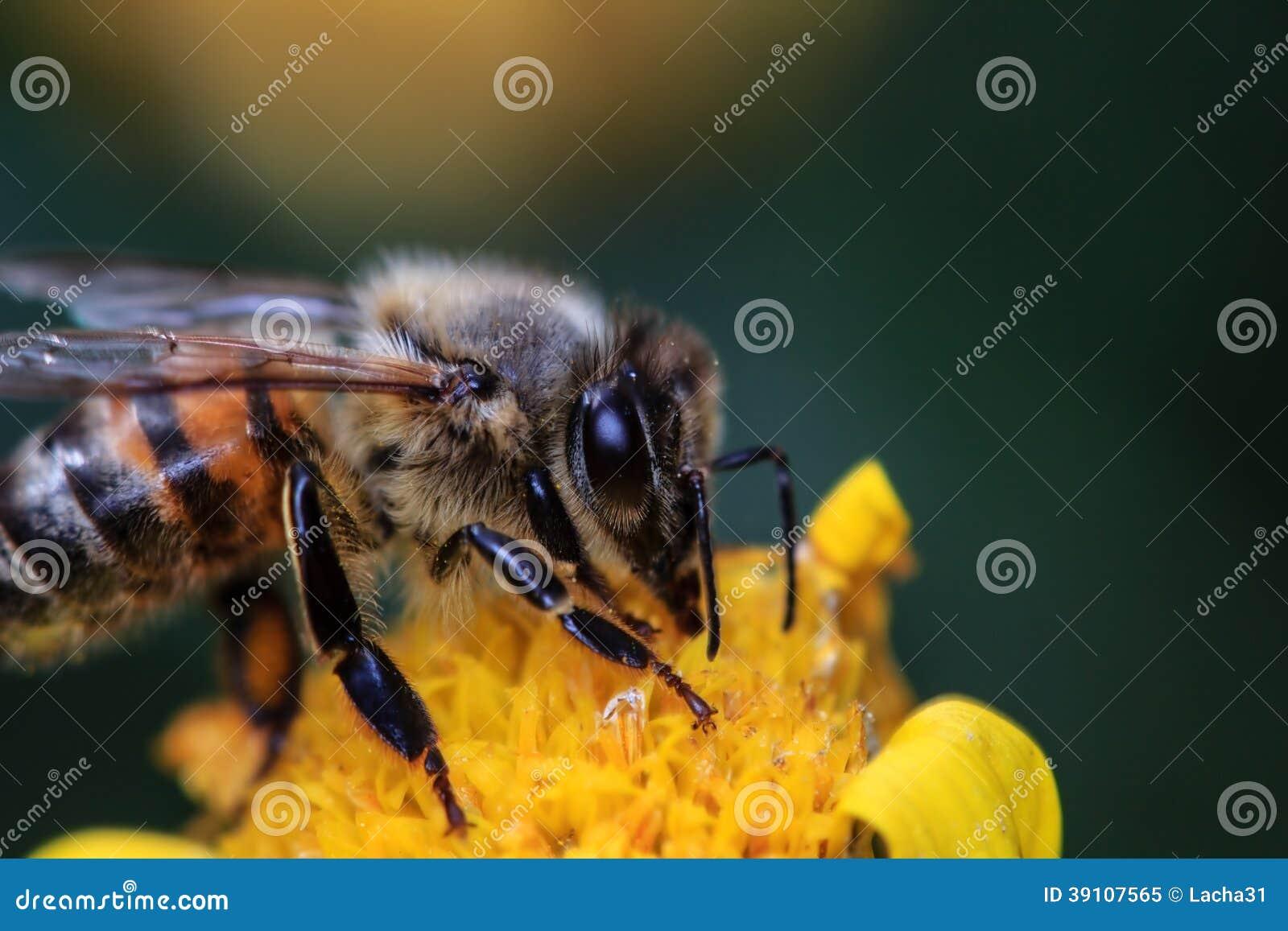Honey Bee op Gele Bloem