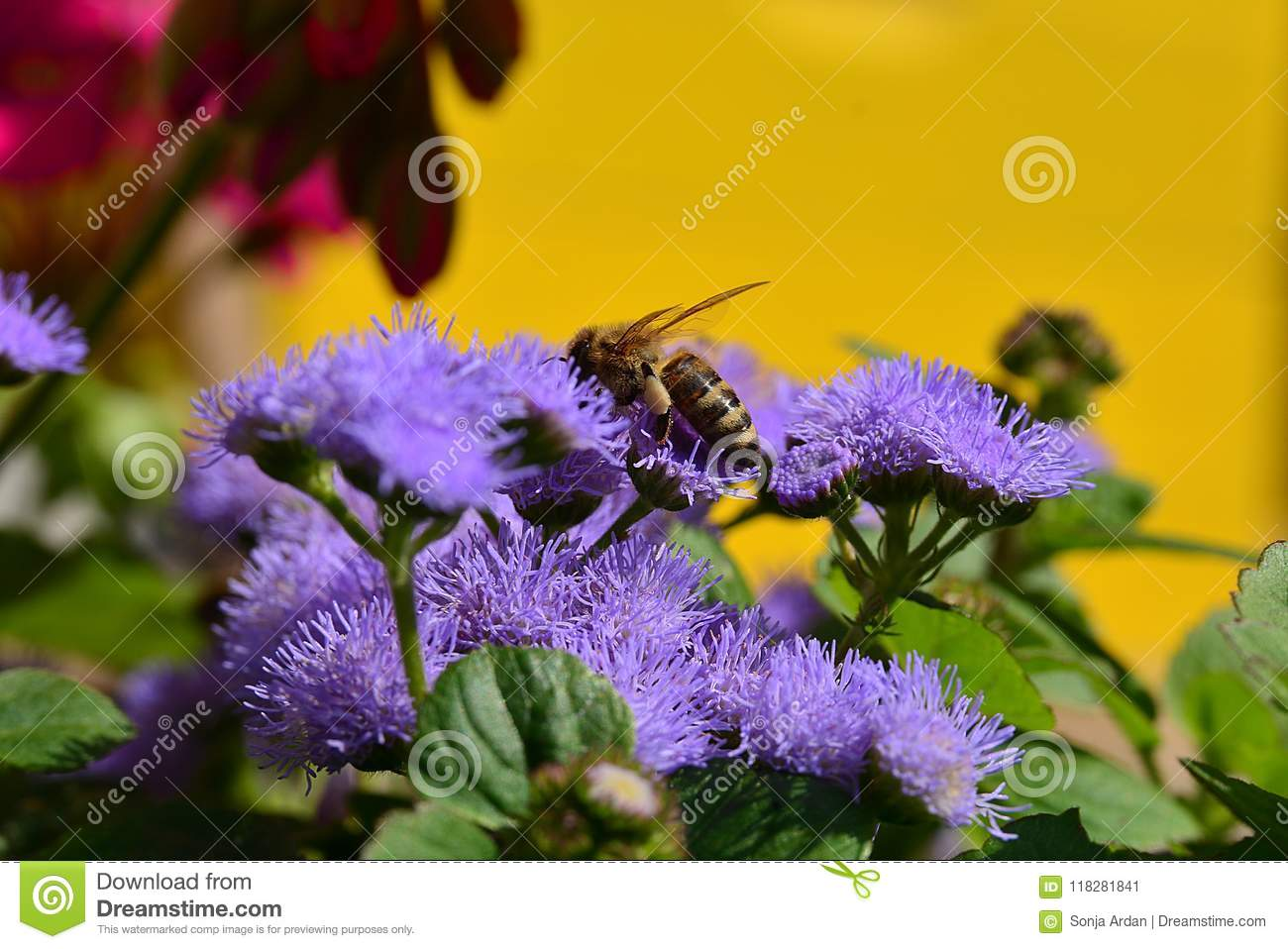 Honey Bee On A Purple Flower Close Ap Stock Image Image Of