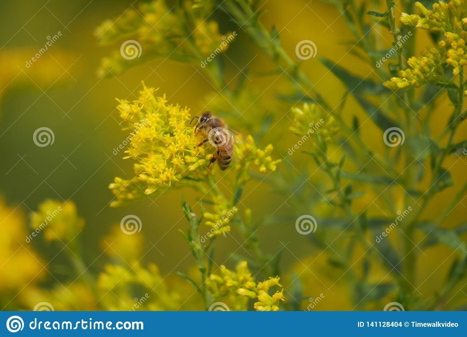 Honey Bee Searches for Pollen on Yellow Flowers