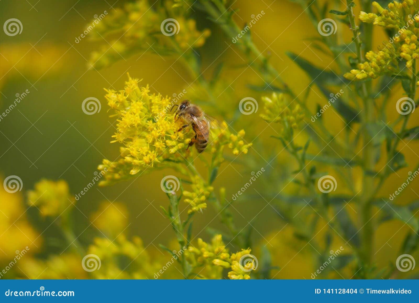 Honey Bee Searches voor Stuifmeel op Gele Bloemen
