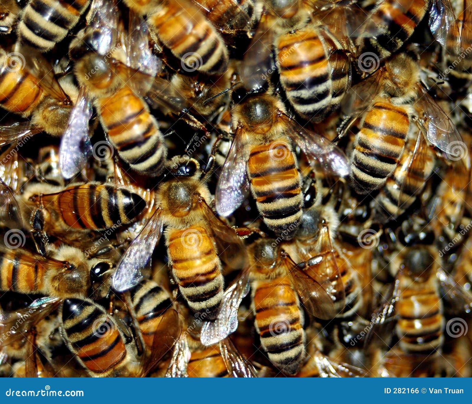Honey Bee Swarm