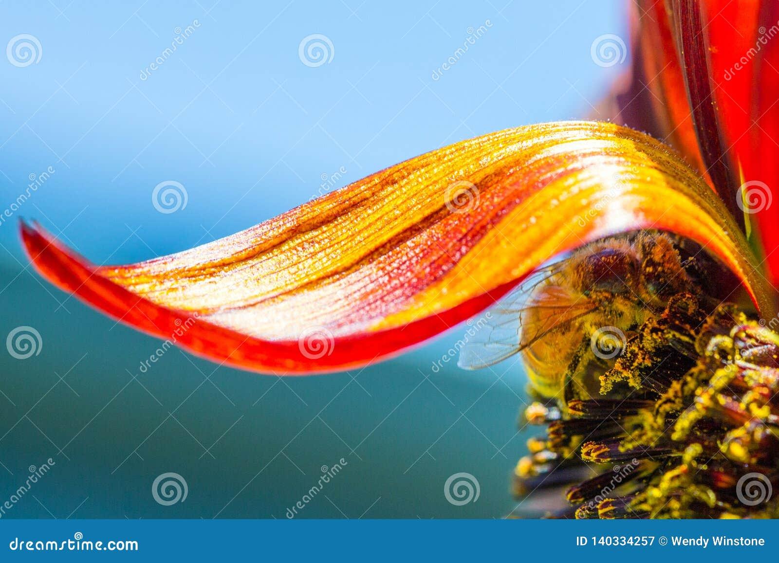 Honey bee under a single prado sunflower petal