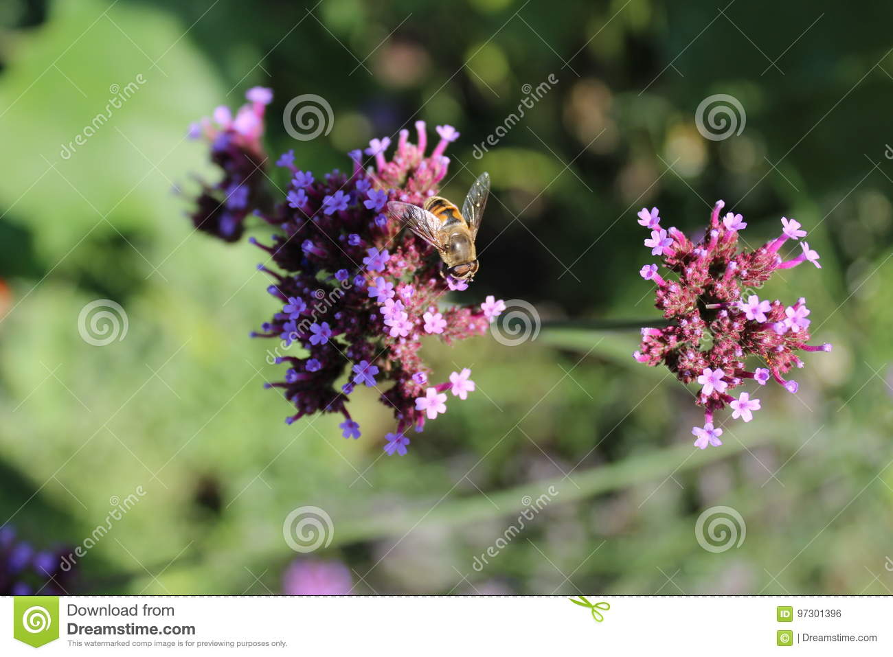 Honey Bee On Verbena Officinalis Stock Photo - Image of