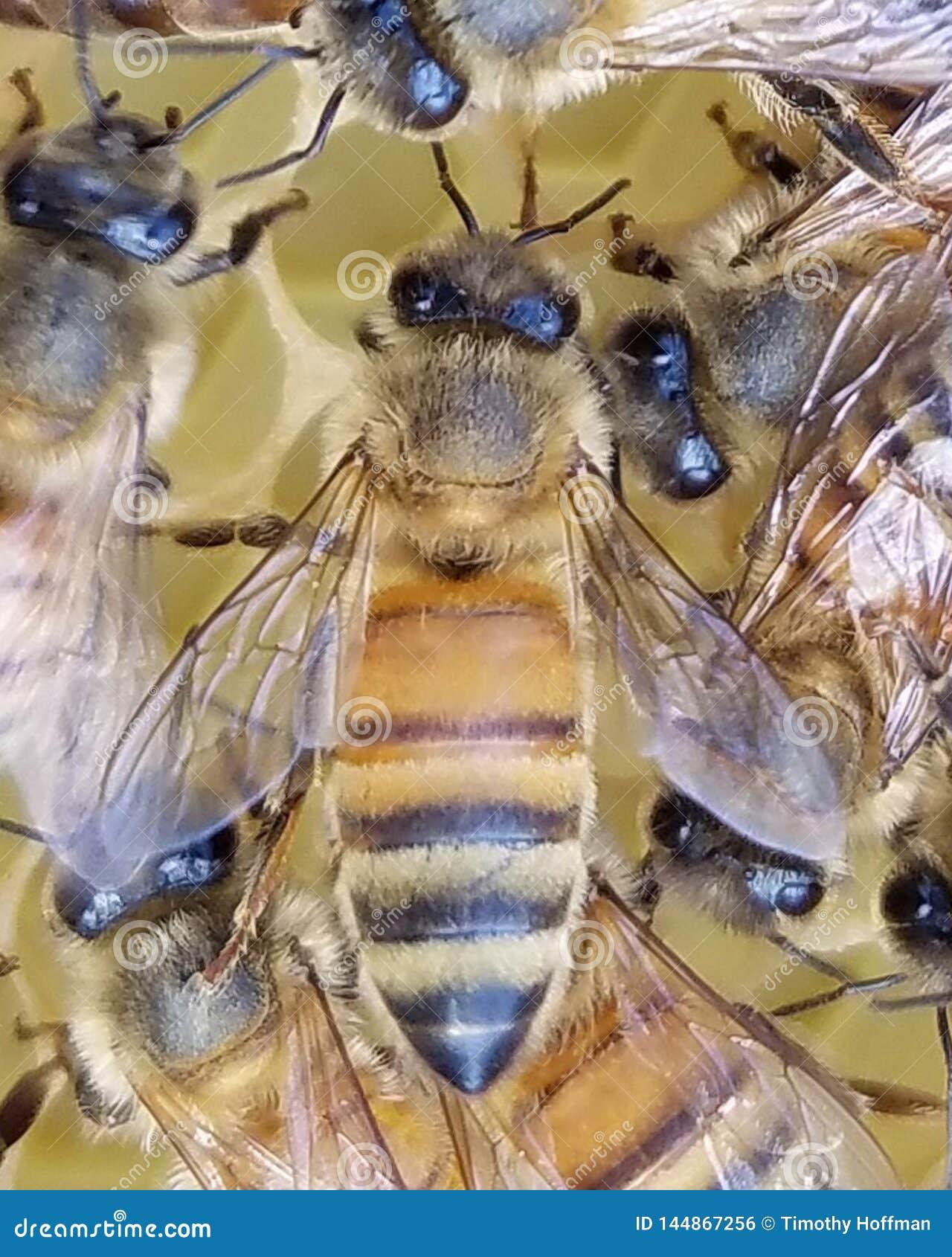 Honey Bee Worker joven