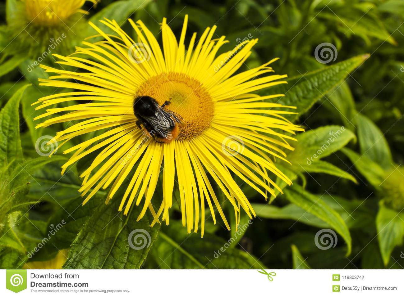 Honey Bee On A Yellow Daisy Like Flower Stock Photo Image Of