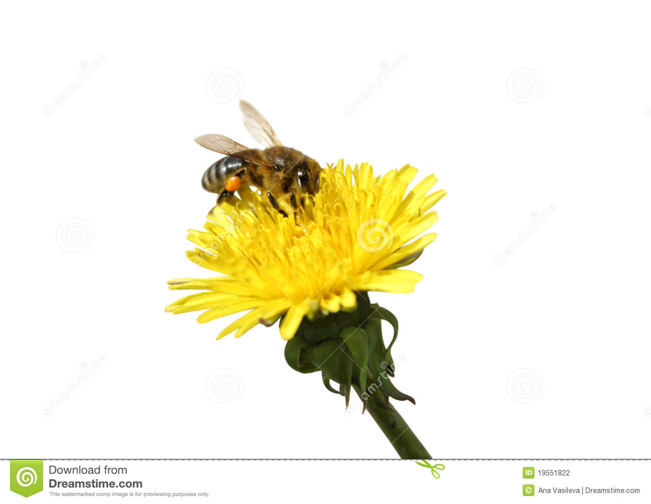 Bee collecting honey at yellow Dandelion flower. Isolated on white ... Green Garden Spider