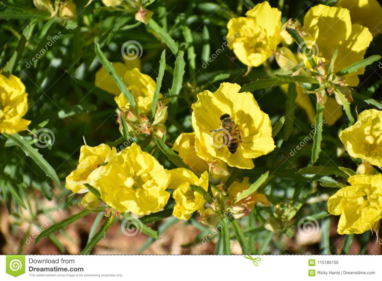 Honey Bee In Yellow Flower In Festival Stock Photo Image Of April