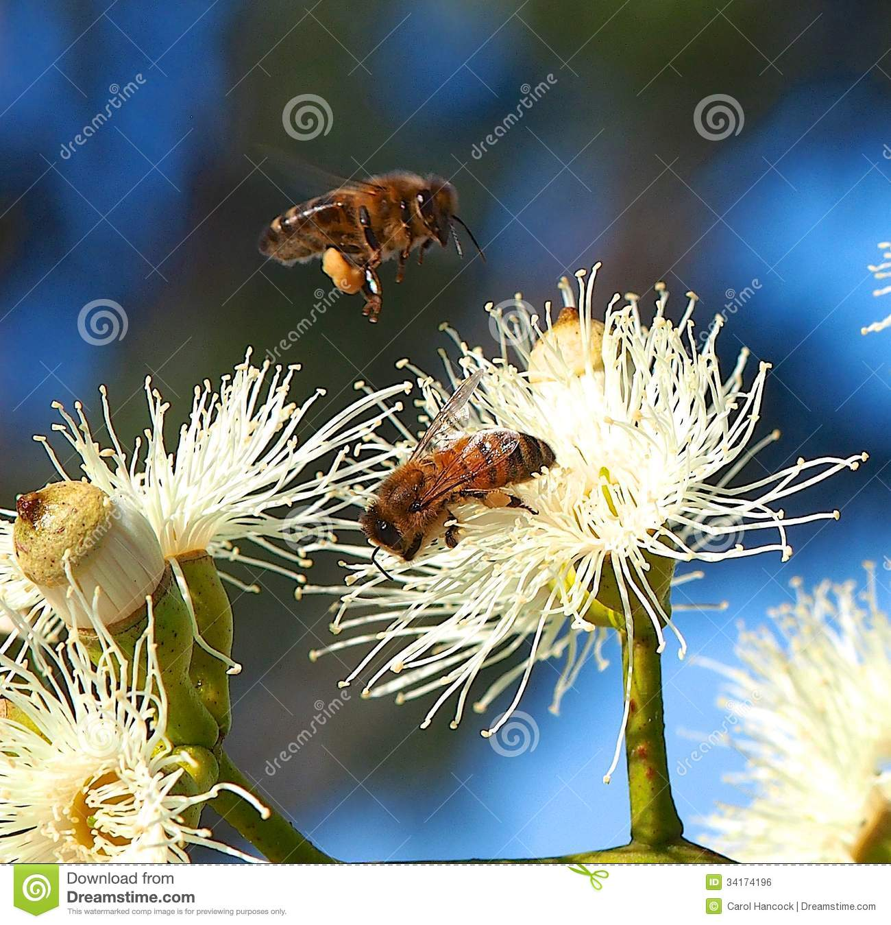 Honey Bees Busy Pollinating Sugar Gum Tree (Eukalyptus cladocalyx)