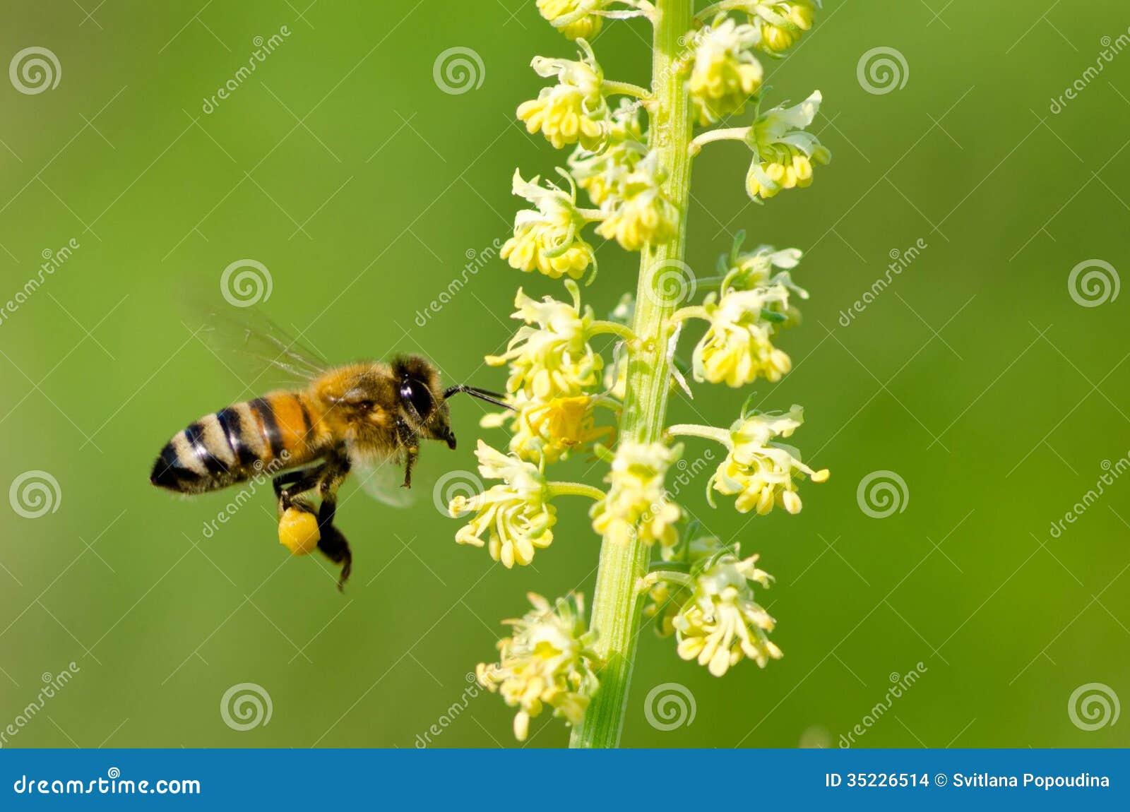 Honeybee na Żółtym kwiacie