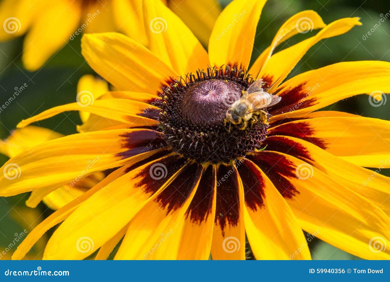 Honeybee on rudbeckia