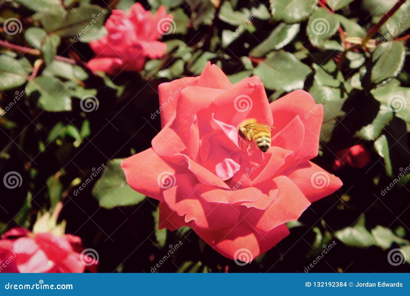 Honeybee w ogródzie różanym w Kolorado
