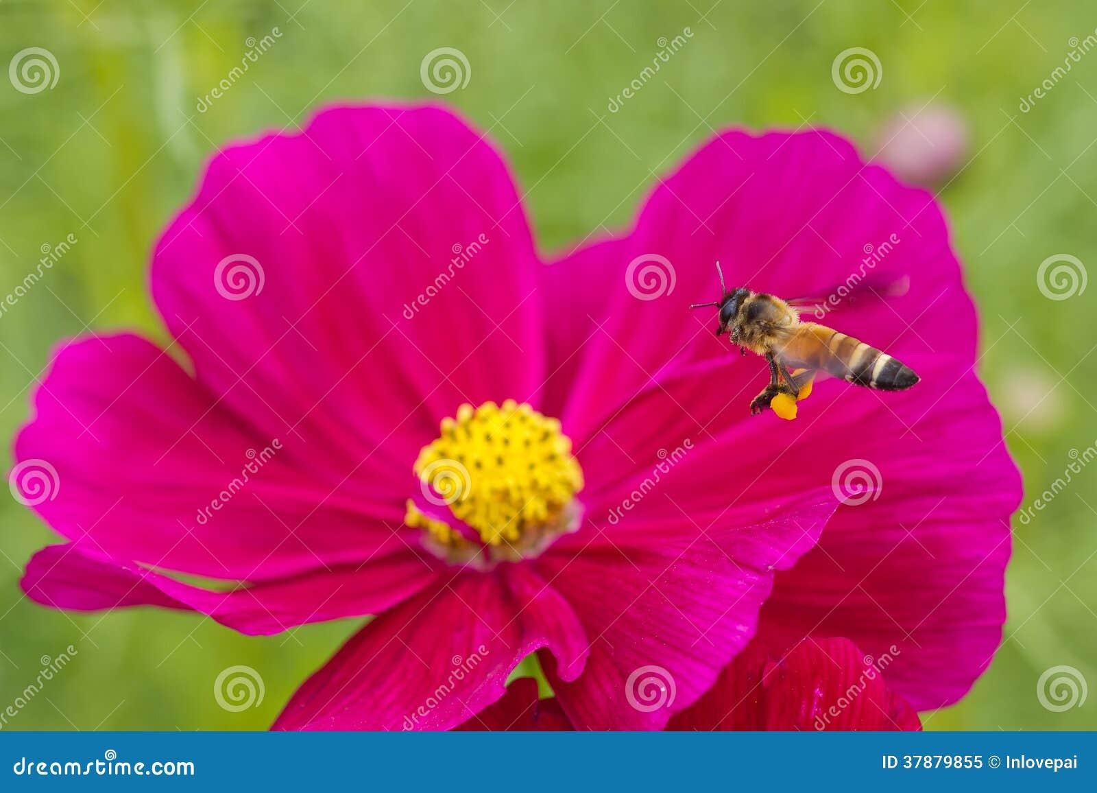 Honeybee zapylający czerwony kwiat