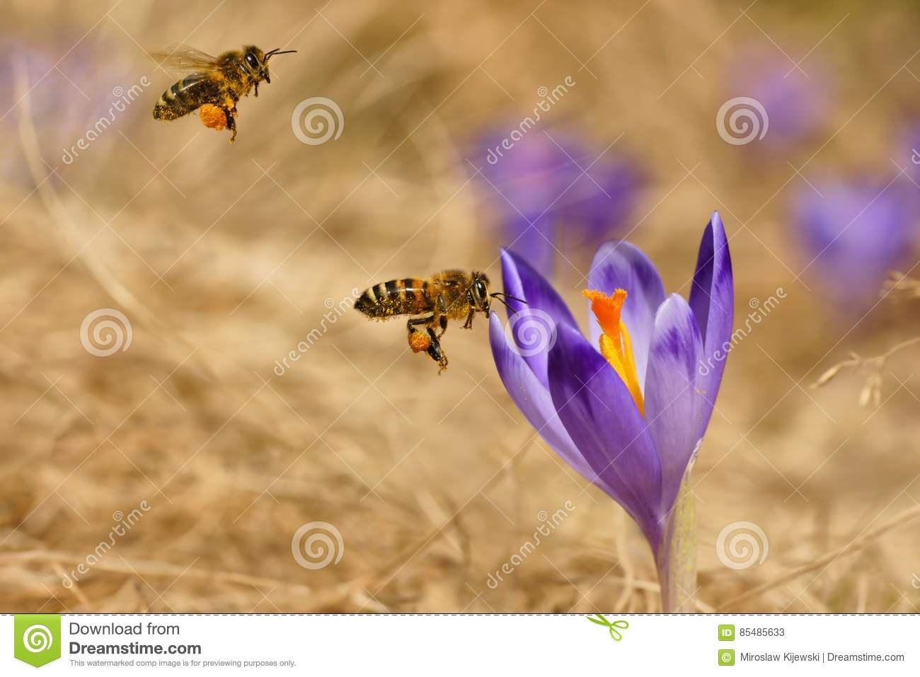 Honeybees Apis mellifera, bees flying over the crocuses in the spring