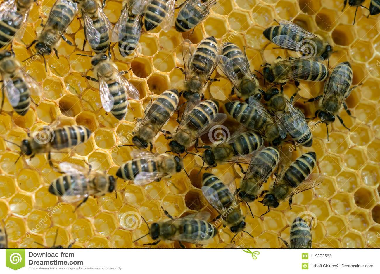 Honeycomb full of bees. Beekeeping concept.