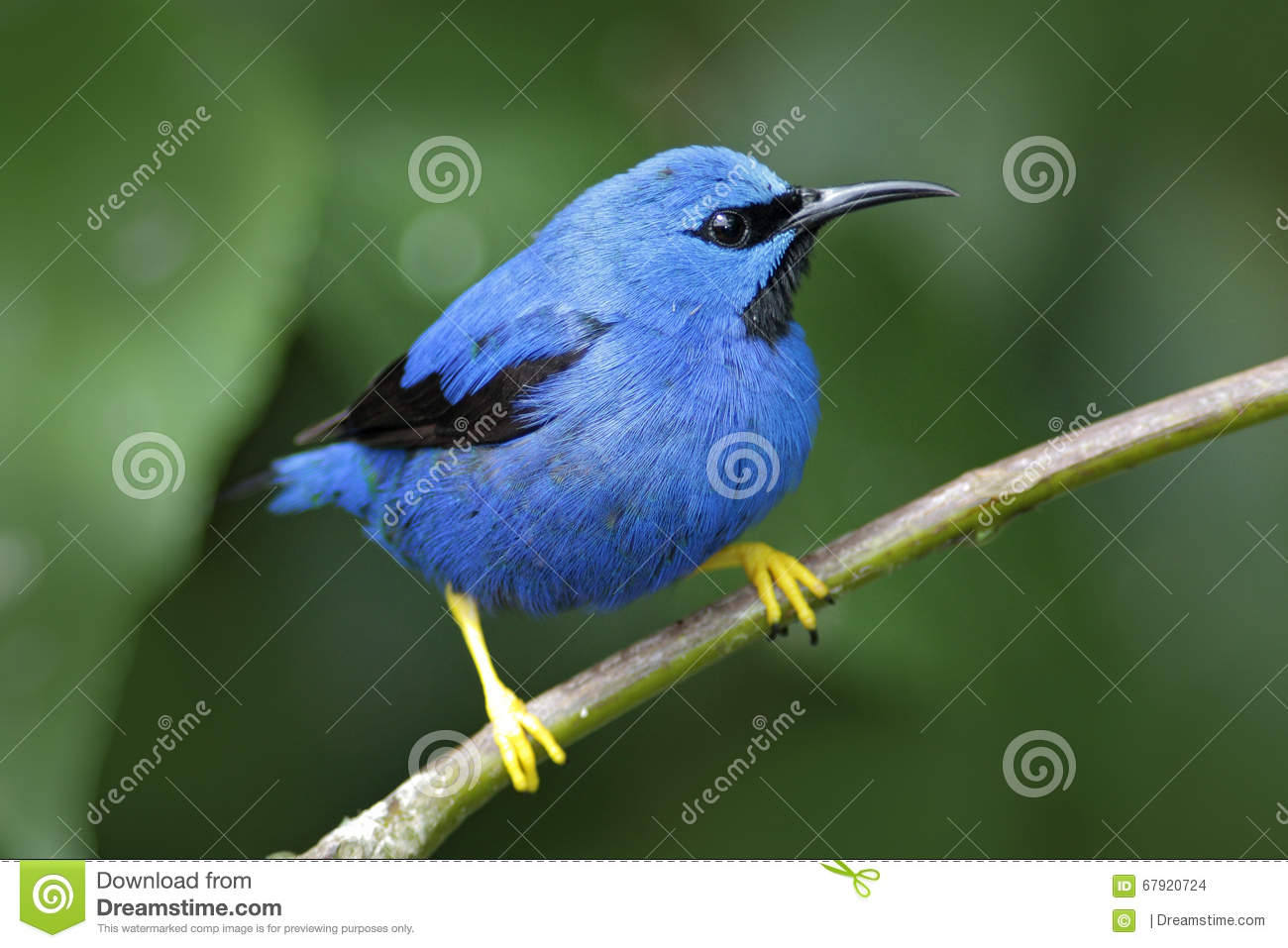 honeycreeper brillant lucidus de cyanerpes oiseau bleu tropical exotique avec la forme jaune. Black Bedroom Furniture Sets. Home Design Ideas