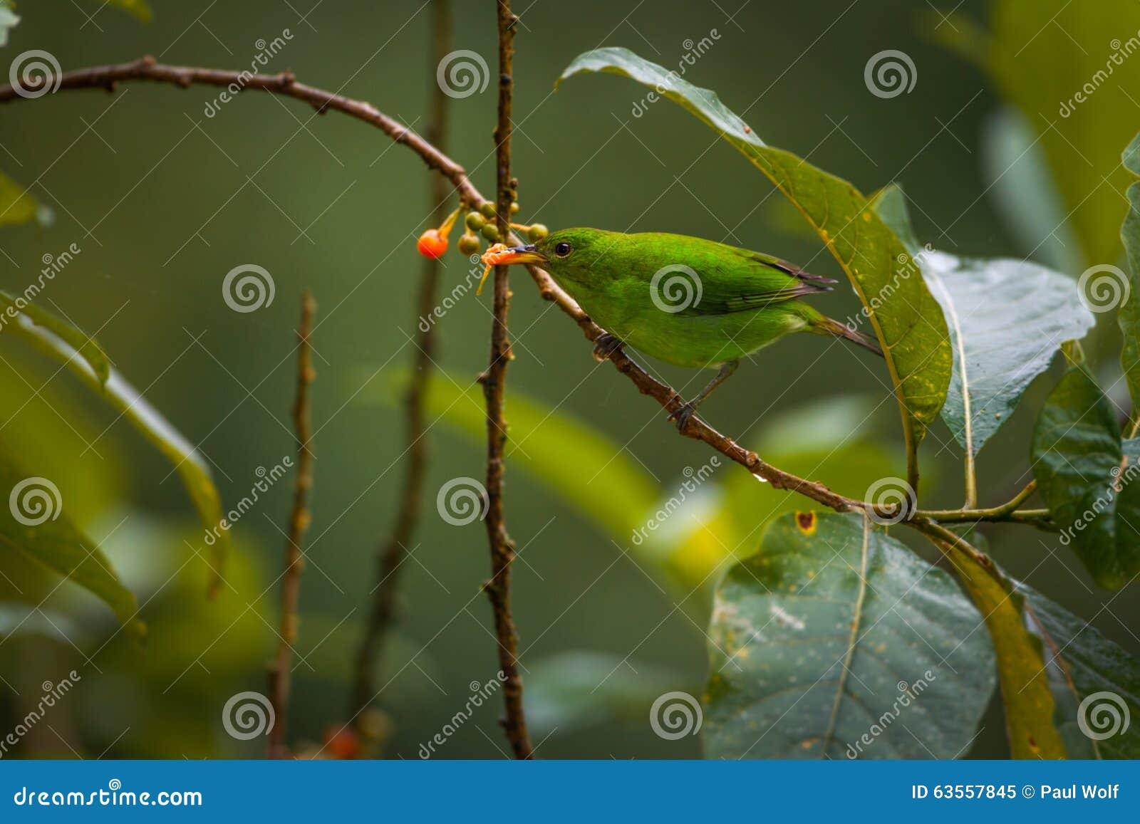 Honeycreeper verde, femminile