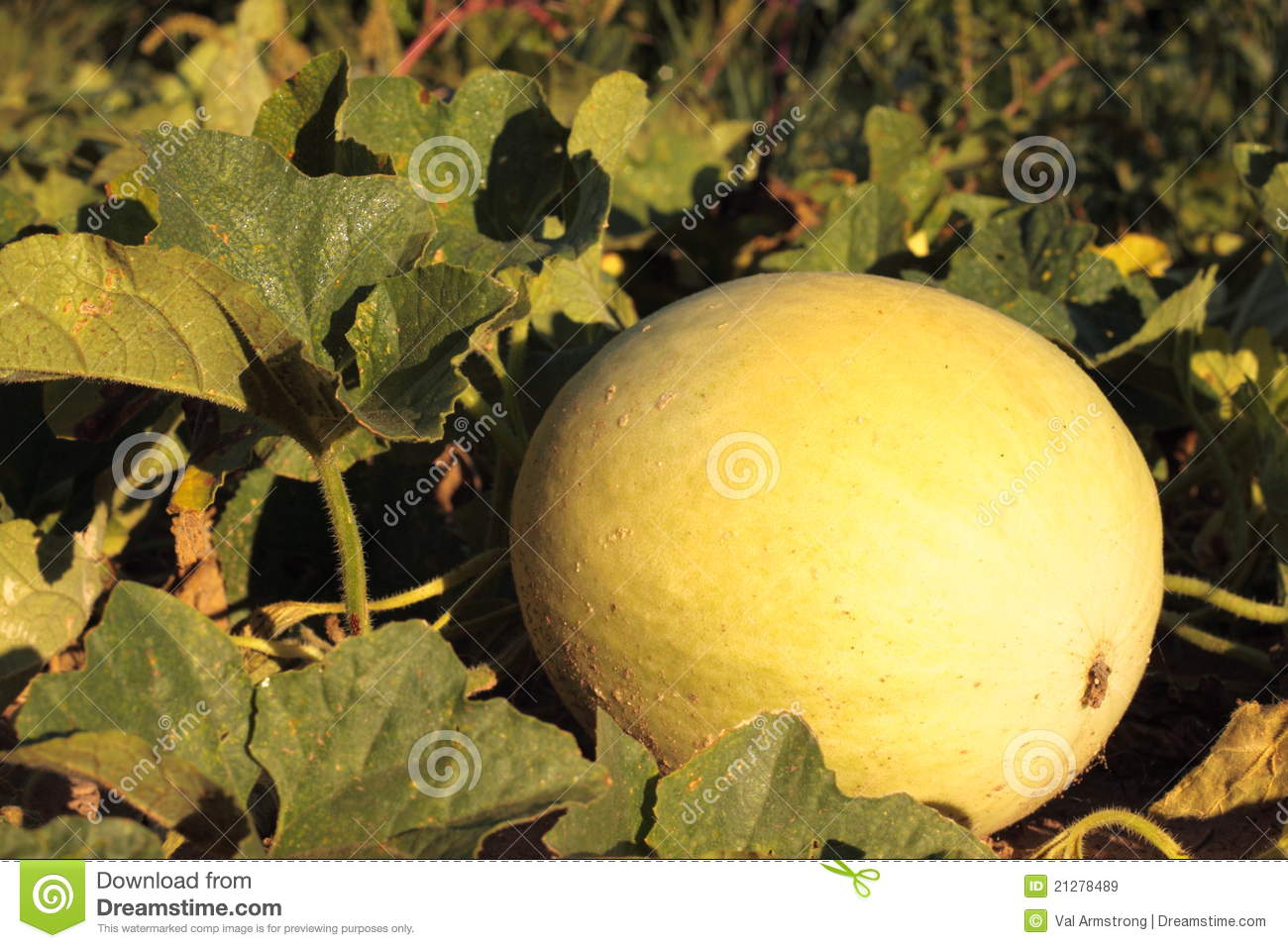 ripe honeydew melons how to tell