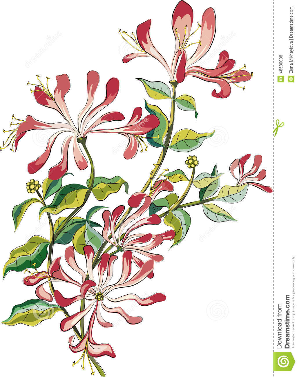 Honeysuckle Flower Line Drawing : Honeysuckle stock vector illustration of colorful pink