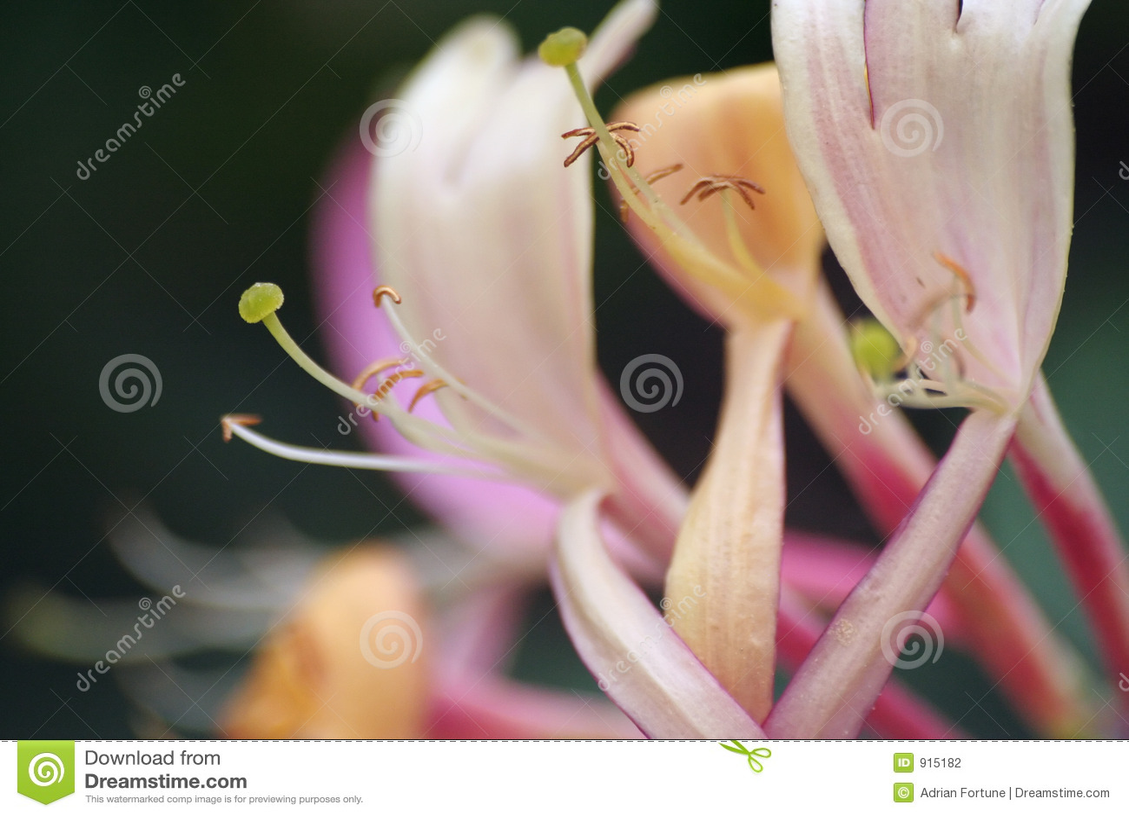 Honeysuckle flower,shallow dof,(Lonicera periclymenum Serotina)